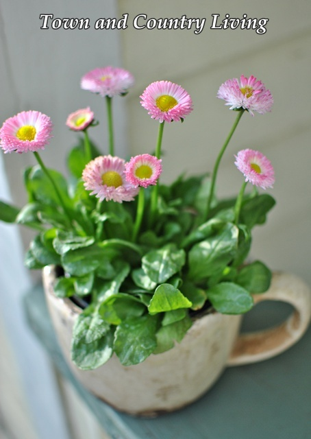 Pink Daisy Inglés