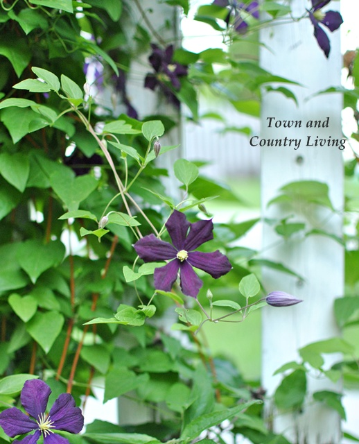 Purple clematis on a white picket fence