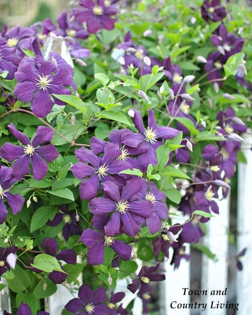 Purple Clematis - Five Tips for Successful Flower Gardening