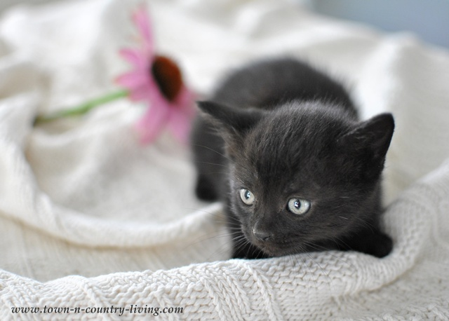 Black kitten at Town and Country Living