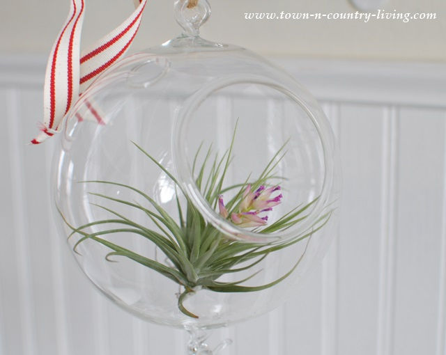 Tillandsia in a hanging globe terrarium