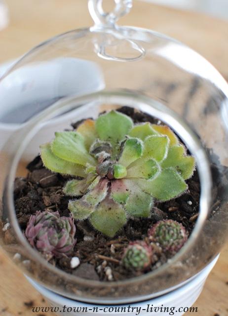 Adding succulents to hanging globe terrarium