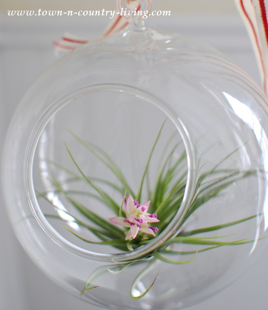 Tillandsia Air Plant in Hanging Globe