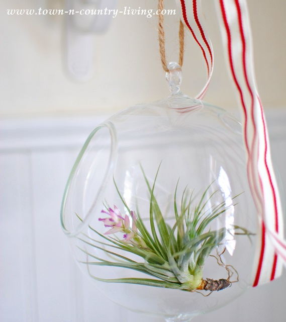 Flowering Tillandsia at Town and Country Living