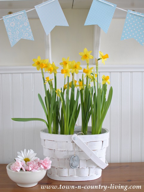 Place daffodils in a white basket to conceal their plastic pots