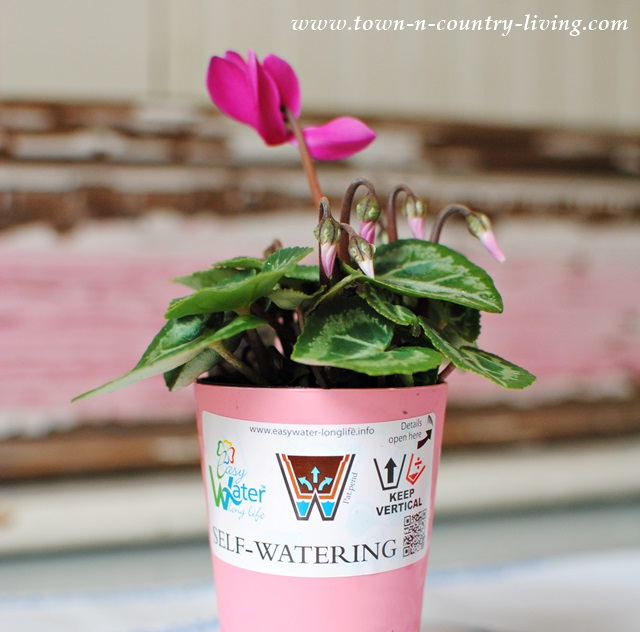 Miniature Pink Cyclamen in Self Watering Pot