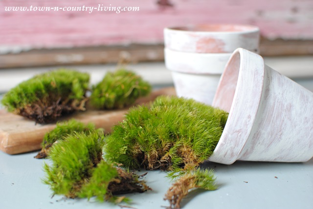 A Trip To The Mossy Twig In Geneva Resulted In A Couple Handfuls Of Live  Moss.
