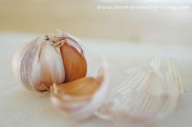 Fresh organic garlic