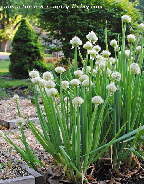 Onion Plants in a May Garden in Illinois