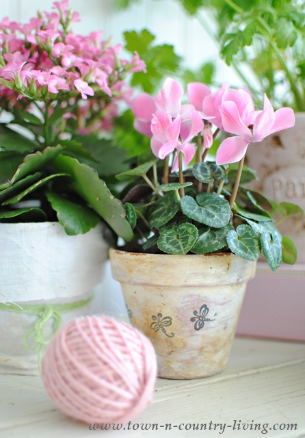 Pink Cyclamens in White Washed Pots