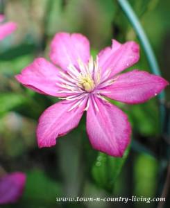Perennial Flowers in My Garden