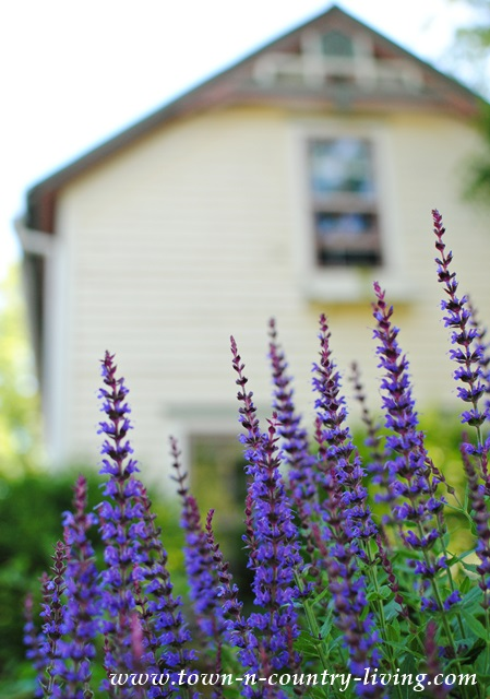 Purple Salvia Planted in Front of Farmhouse