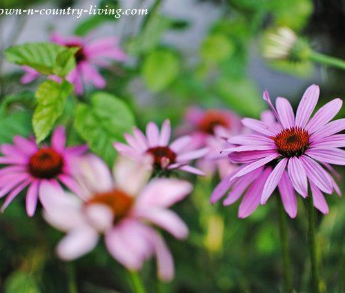 Purple Coneflower in July Garden