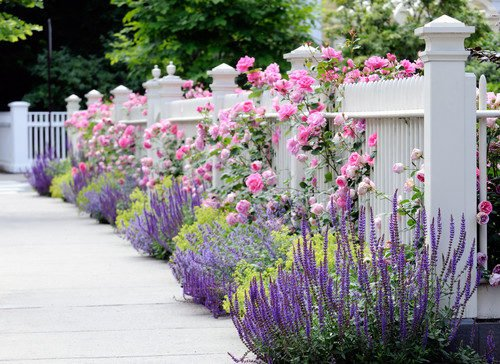 White Picket Fence with Rambling Roses