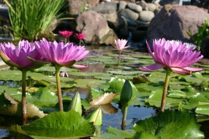 Water Lilies ~ The Jewels of the Water Garden