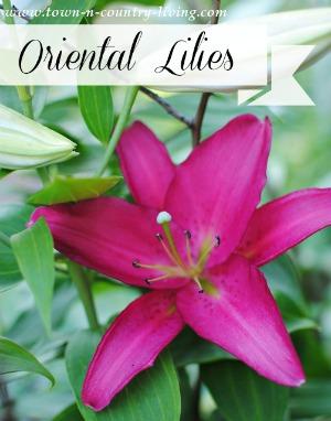 Oriental Lilies in the Garden