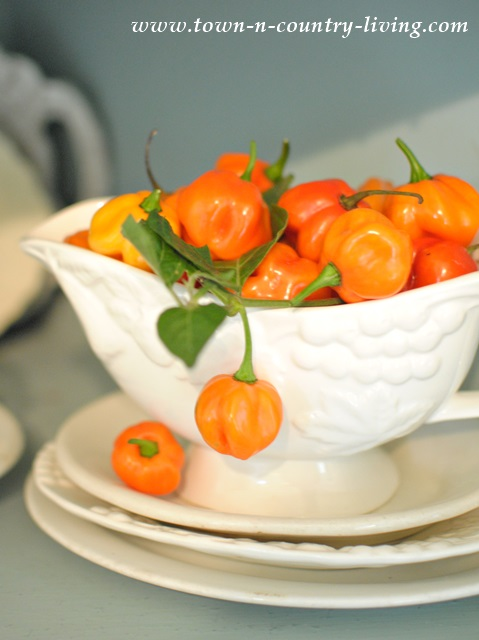 Pitcher with Orange Habenero Peppers that look like Pumpkins