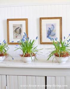 Indoor Gardening with Grape Hyacinths