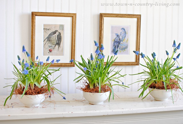 Indoor gardening with grape hyacinths town country living - Planting hyacinths indoors ...