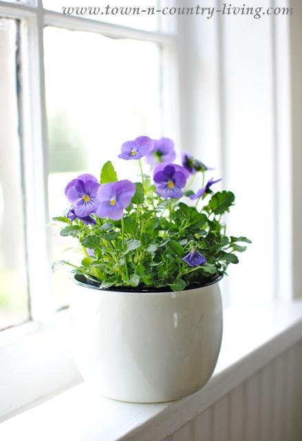 Enamel pot with violas