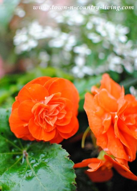Orange Tuberous Begonia
