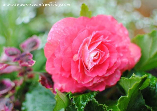 Pink Tuberous Begonia