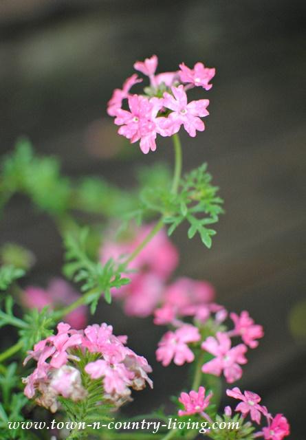 Trailing Pink Verbena
