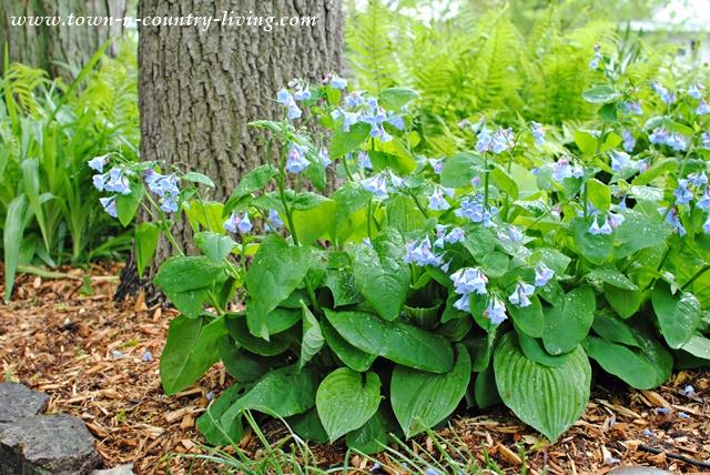 Virginia Bluebells in a Shade Garden