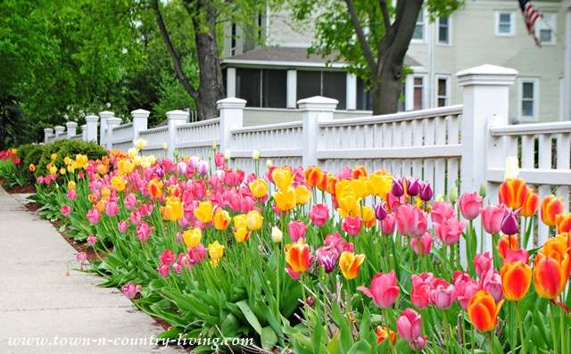 Tulips hugging a white picket fence