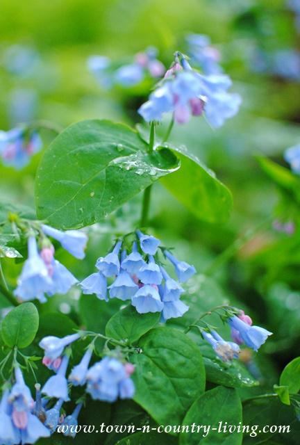 Virginia Bluebells in a Shade GardenVirginia Bluebells in a Shade Garden