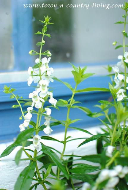 White Angelonia