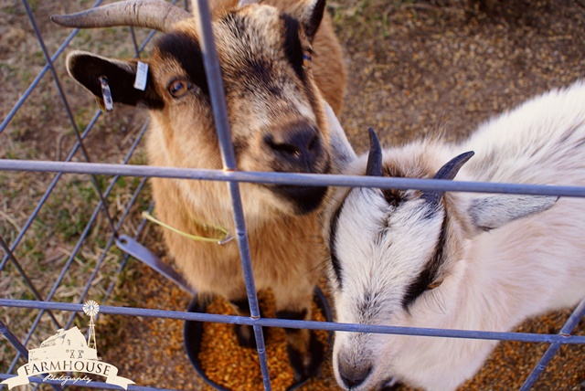 Pet Goats on the Farm