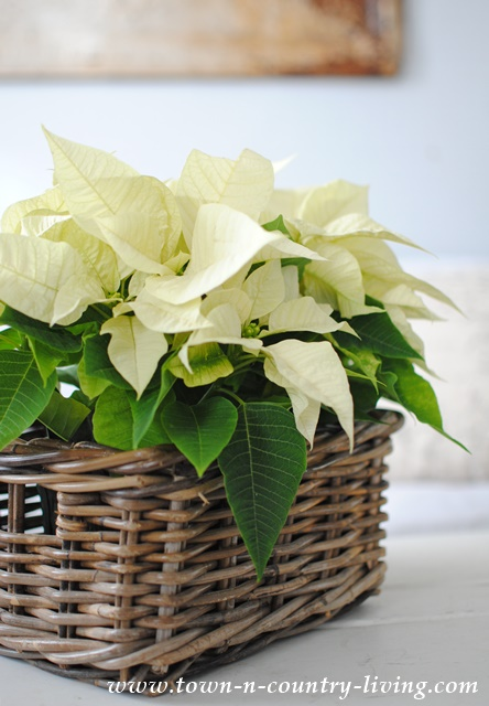 Creamy Christmas Poinsettia