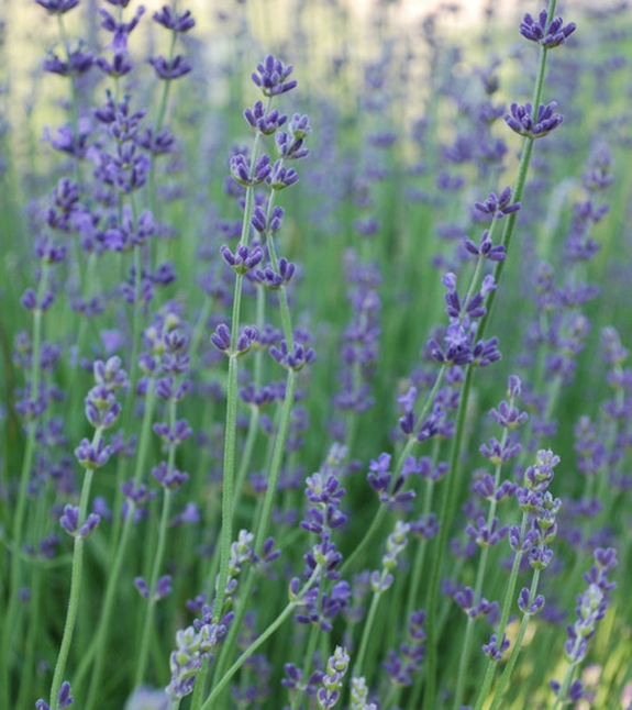 Fragrant English Lavender and 13 Ways to Use It