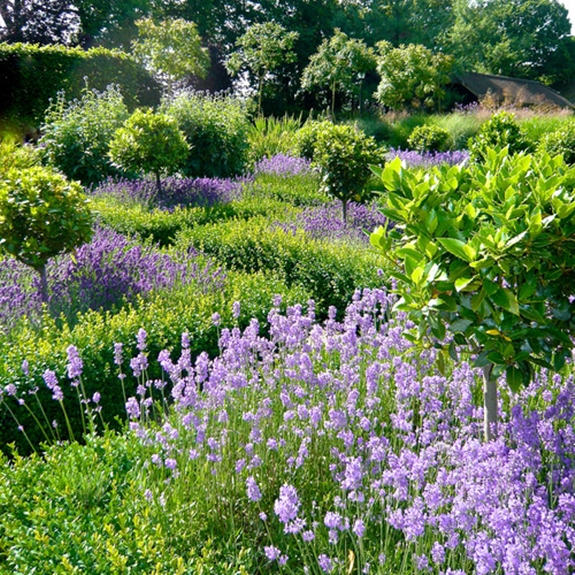 Lavender Blooming in a Farmhouse Garden