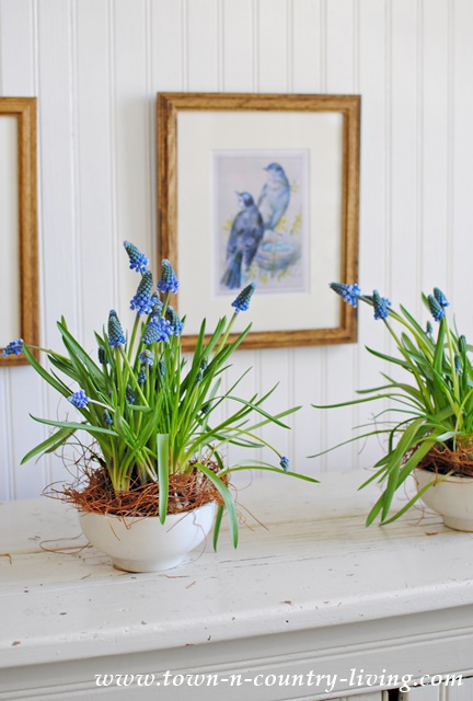 Grape Hyacinth in White Ironstone Bowls