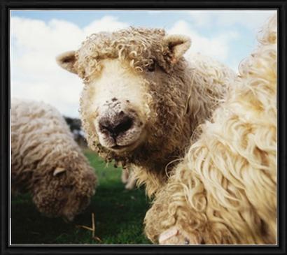 Framed Sheep Print at Photos.com