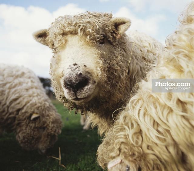 Sheep Print by Matt Carr
