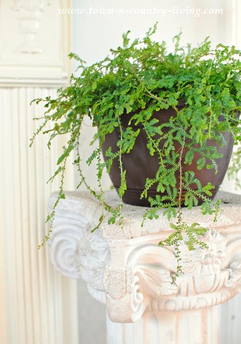 Ivy on a Sculpted Pedestal