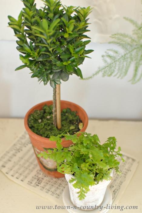 Euonymus as Topiary