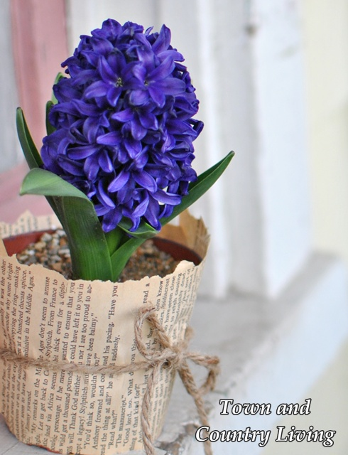 Purple Hyacinth in Garden Pot Wrapped in a Book Page