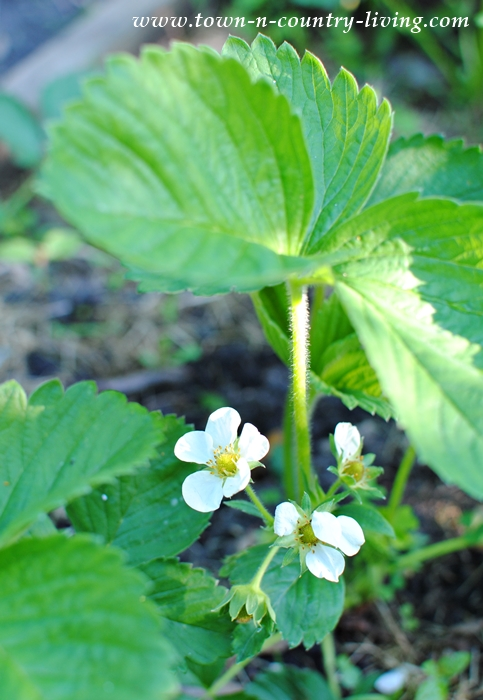 Flowering Strawberries. Tips on How to Grow.