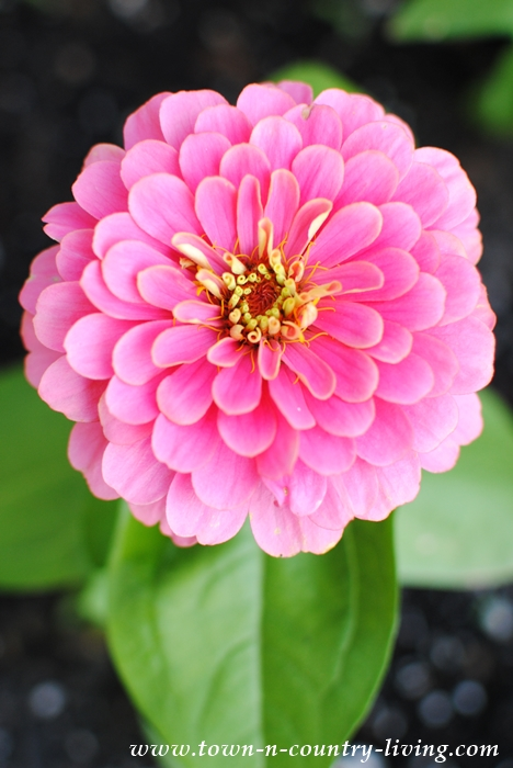 Home Grown Zinnia
