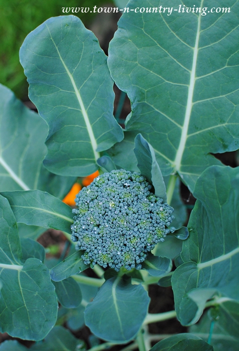 Broccoli in My Garden