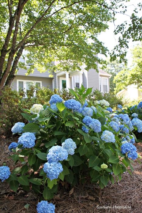 Blue Hydrangeas in Georgia Garden