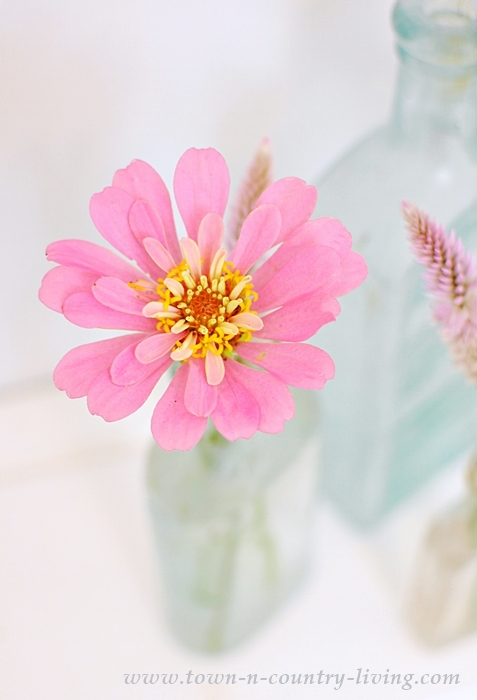 Pink Zinnia in Vintage Aqua Bottle