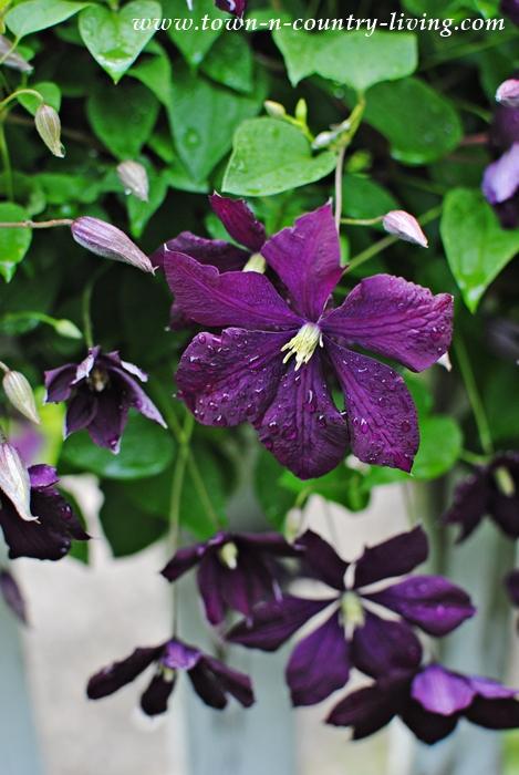 Purple Jackmanii Clematis