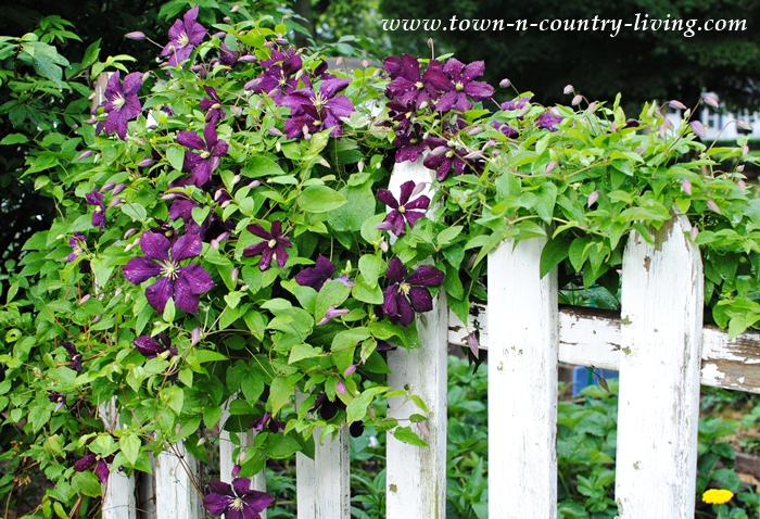 Purple Clematis on Picket Fence
