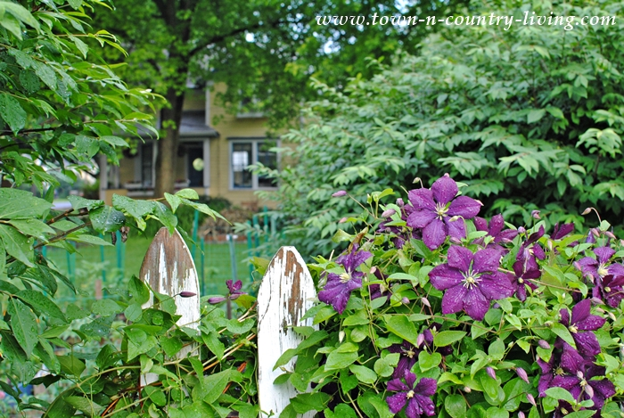 Purple Jackmanii Clematis