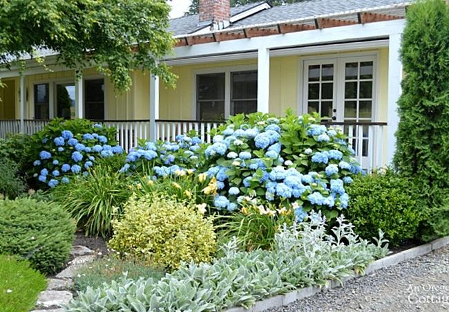 Blue Hydrangeas add Curb Appeal to an Oregon Cottage